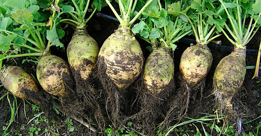 Брюква Этот плод — нечто среднее, между репой и капустой, появляется на наших столах еще реже, чем тыква. Брюква обладает очень низкой калорийностью, при высоком содержании клетчатки. Она, также, богата антиоксидантами и может стать прекрасной заменой довольно вредному картофелю.