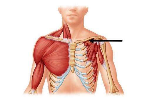 Подключичная мышца Маленькое, треугольное сухожилие, которое находится между ребром и ключицей. Подключичная мышца просто необходима тем, кто все еще продолжает ходить на всех четырех конечностях одновременно. Все прочее человечество от нее постепенно избавляется.