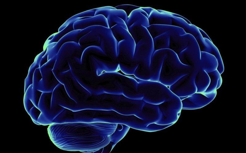 Мозг Гиппокамп – участок мозга, который отвечает за обучение и память, и обонятельная луковица регулярно обновляют свои клетки. Причем, чем выше физическая и мозговая активность, тем чаще образуются новые нейроны в этих участках.