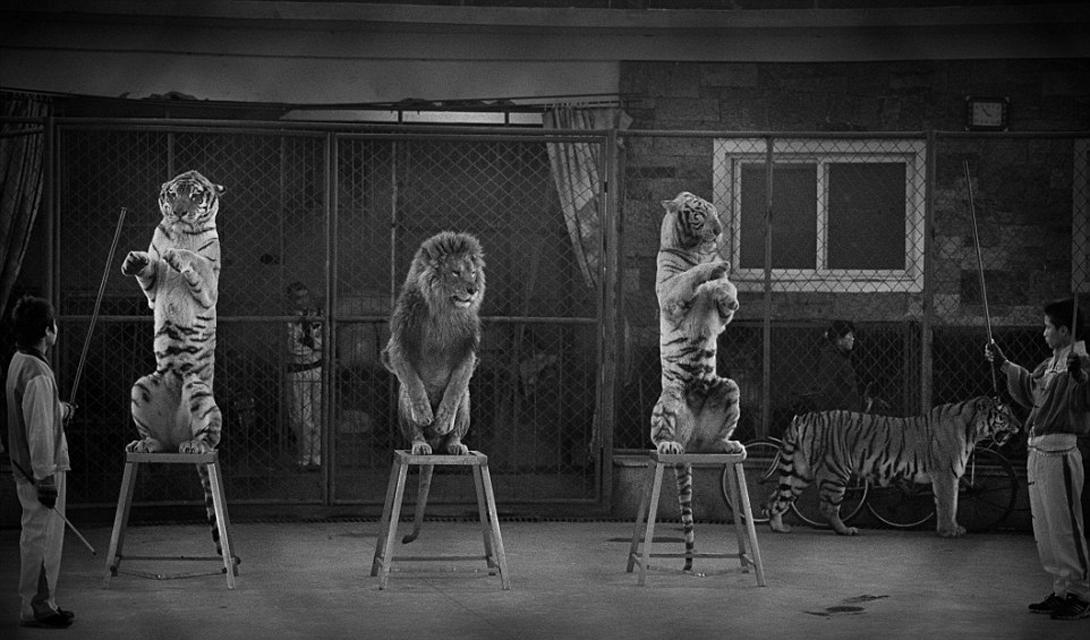 Broken cats Категория: фотожурналистика в дикой природеАвтор: Бритта Джасински За последние 20 лет, Бритта много путешествовала, документируя мир животных в неволе и их ненужные страдания во имя развлечения толпы. Девушка была поражена отношением к диким животным, которое практикуется в Китае. Ее стараниями были закрыты три цирка, дрессировщики которых постоянно убивали львов и тигров прямо на сцене.