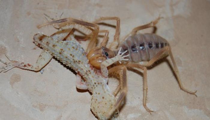 Местные легенды Фаланги предпочитают жить и охотиться в жарких пустынях. Бедуины хорошо знают этих страшных пауков: несмотря на то, что фаланги слишком малы для нападения на человека, они пользуются весьма дурной славой. Протяжный звук, который издают их хелицеры при атаке, далеко разносится в ночной пустынной тиши. Фаланги, якобы, умеют прыгать на огромные расстояния. Ходят слухи об особом роде пауков, подкрадывающихся к спящим ночами и прогрызающим им горло. Никто из западных исследователей никогда не видел жертв фаланг, но местные жители спать в пустыне побаиваются.