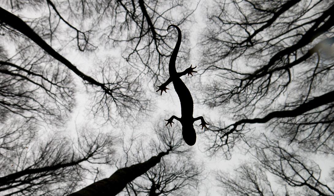 Still Life Категория: натюрморт в дикой природеАвтор: Эдвин Гейсберс Тритон снят на поверхности озера Скарсборо: Эдвину пришлось подбираться к дремлющей амфибии на протяжении целого часа.