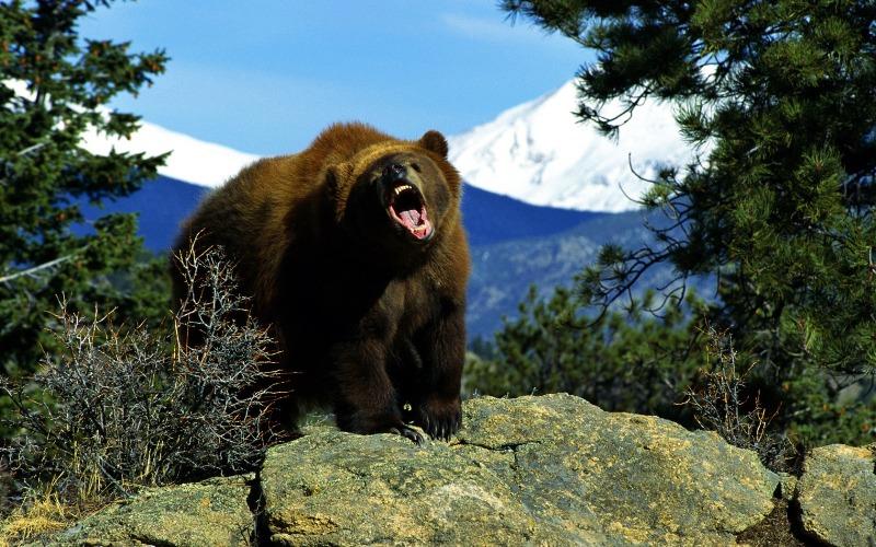 Или ты съешь медведя или… В столкновении с медведем ваш образ действий будет во многом зависеть от ситуации. Встретив косолапого ночью или на лесной тропинке, и увидев, что он не собирается в ту же секунду атаковать вас, вы можете ошеломить его, дав понять, что вы не собираетесь становиться легкой добычей. Попробуйте кинуть пару камней рядом с ним или замахнуться веткой. Крики тоже могут сработать. Но если медведь выглядит разгневанным, скорее всего он просто обороняет свою территорию, которую желательно побыстрее покинуть. В этом случае, мы советуем медленно, держась к нему лицом, отступать, все время спокойно с ним разговаривая. Постоянный поток слов покажет медведю, что вы человек, а, следовательно, не его обычная добыча. Но если медведь не отстает и пытается вступить в телесный контакт, падайте на землю лицом вниз и притворитесь мертвым. Если медведь просто защищал свою территорию от вторжения, через пару минут он потеряет к вам интерес и уйдет.