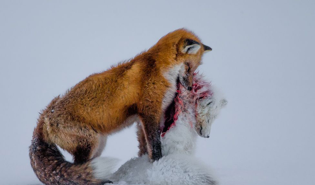 A tale of two foxes Главный призАвтор: Дон Гутоски На этом кадре замерла обычная лесная лиса, только что победившая в схватке песца. Снимок был сделан в национальном парке Вапуск, Гудзонский залив, Канада. Обычно, эти хищники не охотятся друг на друга — видимо, причиной драки стала территория.