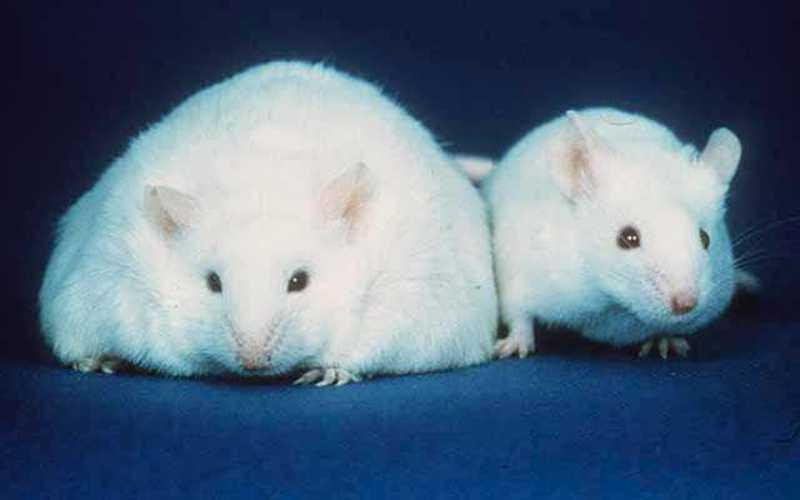 Все болезни от нервов Связав все полученные данные, ученые обнаружили, что у мышей, генетически модифицированных и лишенных «лептиновых» нейронов, передача сигнала от жировой ткани к мозгу нарушалась, и, следовательно, распада жира гормоном не происходило. Очевидно, тоже самое происходит и в жировой ткани человека.