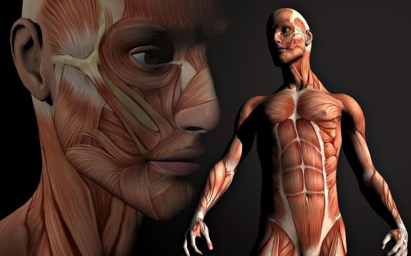 Клетки мускулатуры Скелетная мышечная ткань полностью обновляется с периодичностью 15-16 лет. На скорость обновления клеток влияет возраст человека – чем старше мы становимся, тем медленнее происходит этот процесс.
