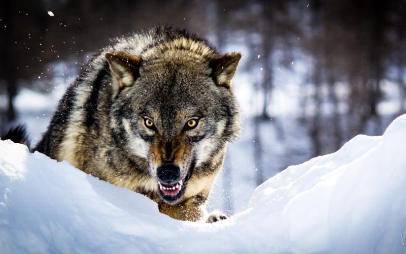 Как победить волка Волки с давних времен пользуются дурной славой. Однако во второй половине 20-го века в Европе и в России было зарегистрировано только 8 нападений,закончившихся смертельным исходом, этих пользующихся грозной репутацией хищников. Если вы заметили волка, старайтесь держаться от него на расстоянии, по крайней мере, 30 метров. Зверя можно отпугнуть криками и бросая в него камни. Важно постоянно поддерживать визуальный контакт: нужно показать противнику, что вы ничуть ему не уступаете. Но если волк перешел в наступление, противостоять ему необходимо тем же методом, которым пользуются для борьбы с собаками. Можно попробовать задушить зверя, обхватив его шею руками или пытаясь засунуть кулак ему глубоко в глотку, чтобы блокировать дыхательные пути.