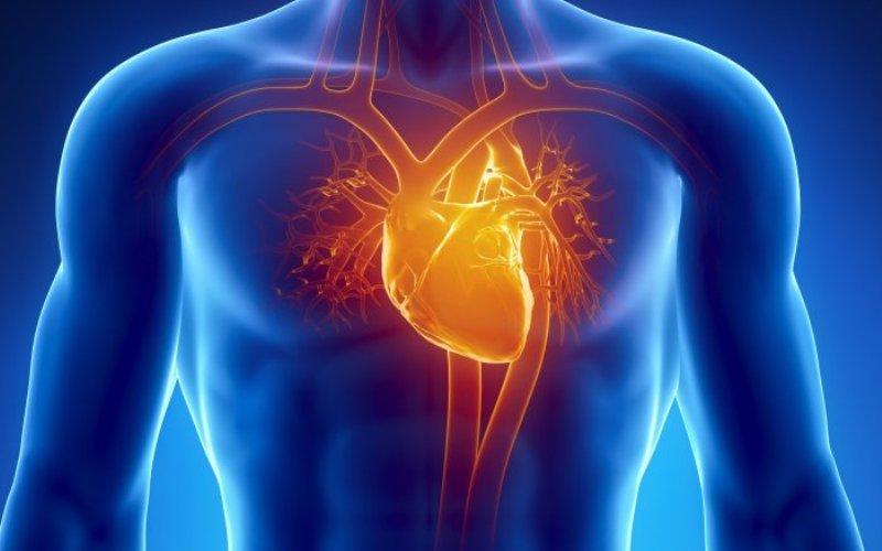 Сердце В течение долгого времени предполагалось, что клетки миокарда (сердечной мышечной ткани) вообще не обновляются. Однако недавние исследования показали, что полное обновление сердечной мускулатуры происходит примерно раз в 20 лет.