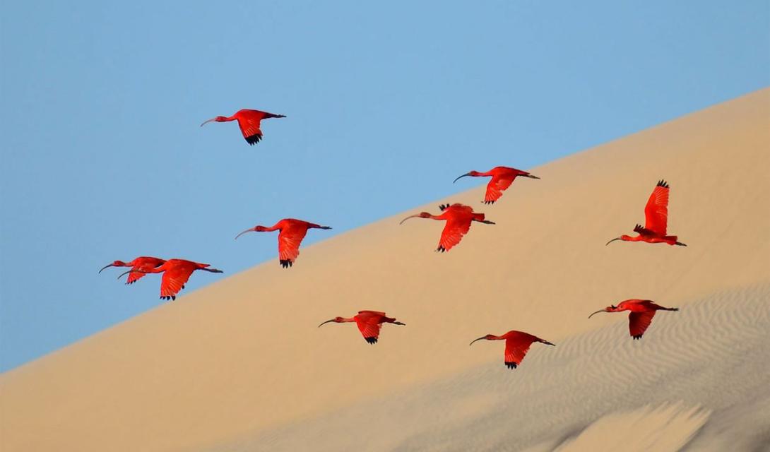 Flight of the scarlet ibis Категория: молодой фотографАвтор: Джонатан Ягот Джонатан был в кругосветном путешествии со своей семьей. В течение последних трех лет он заинтересовался съемкой дикой природы. Этот снимок мальчик сделал у острова Lençóis, вблизи побережья северо-восточной Бразилии.