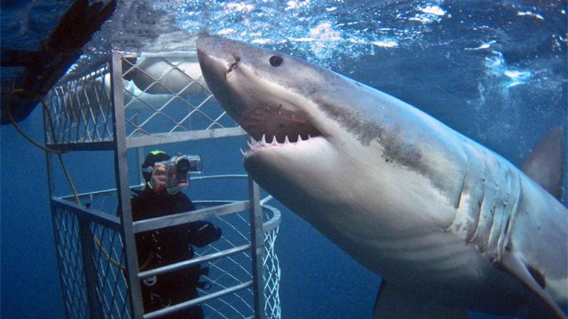 ЮАР, Австралия Погружение с акулами В ЮАР и Австралии программу можно разнообразить, нырнув в океан прямо к акулам. Вас посадят в клетку, раскидают вокруг приманку и опустят в воду. Клетка не имеет каких-либо акриловых и прочих защитных стенок, а из снаряжения у вас будет только гидрокостюм, и маска с трубкой, подведенной к кислородным баллонам, так что руки и ноги лучше за прутья не высовывать.