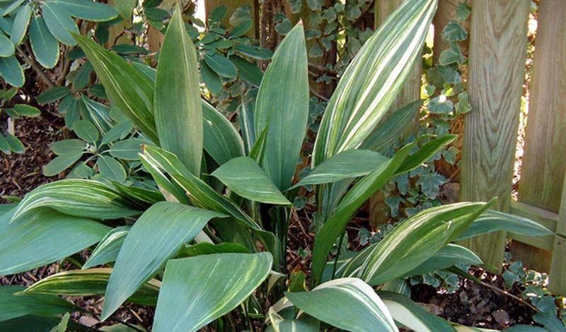 Аглаонема Продолговатые, пестрые листья этого растения чем-то напоминают хищнический окрас некоторых ящериц. Аглаонема требует к себе довольно много внимания, но легко справляется с отсутствием прямого солнечного света.
