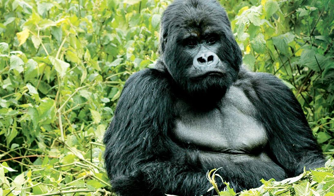 Руанда Горы Вирунга, выступающие осколками огромного изумруда из центральной равнины Африки, являются одним из величайших чудес мира. Национальные парки Руанды готовы предоставить любому желающему возможность лично прикоснуться к животным, которые живут здесь испокон веков.