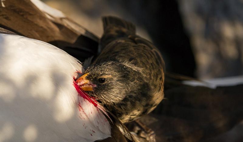 Красноклювый волоклюй И еще одна птица, которая предпочитает питаться насыщенной кровью млекопитающих, а не привычными земляными червями. Волоклюй выбирает крупных животных с открытыми или свежими ранами, из которых птица и добывает свою пищу.