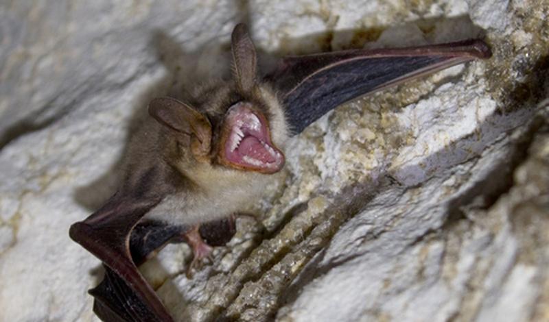 Летучая мышь-вампир И, наконец, классический вампир. Большая часть современной мифологии, окружающей вампиров, акцентирует особое внимание на умении кровососа перекинуться в летучую мышь. Эта легенда основана на реально существующих тварях, обитающих в Центральной и Южной Америке. Слюна летучей мыши-вампира содержит специальные химические соединения, которые мешают свертываемости крови. Жертва вампира может даже не заметить, как становится полноценным обедом.
