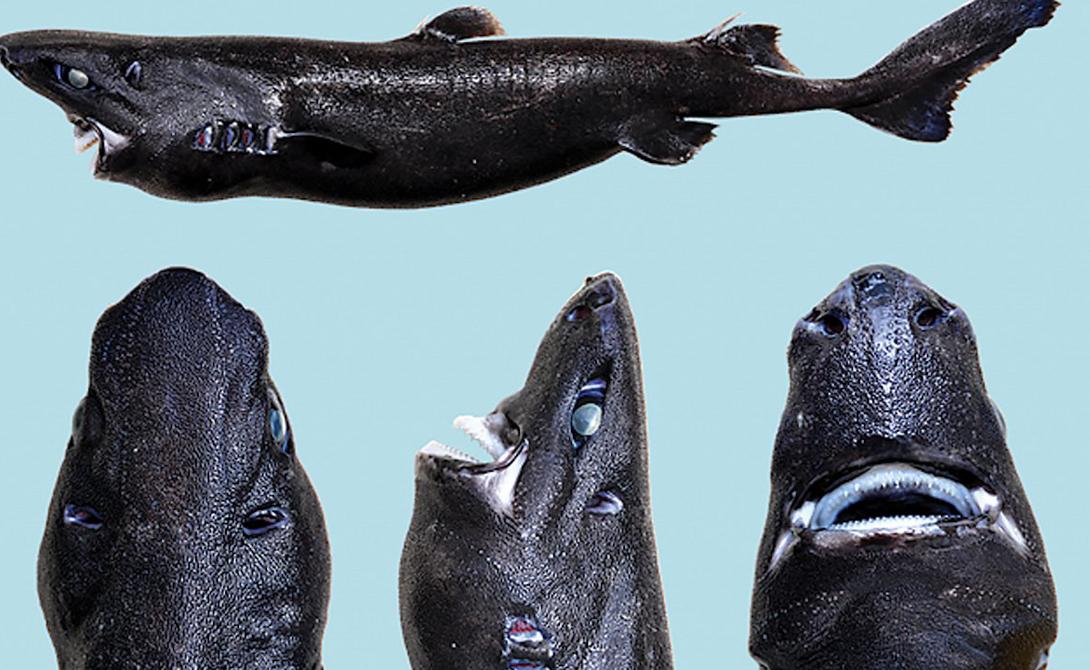 Акула-ниндзя Довольно странно, что мы узнали о существовании такого странного подвида только в 2015 году. Акула-ниндзя умеет фосфоресцировать, ее темная (как сердце твоей бывшей) кожа не отражает света. Эти свойства помогают подводному убийце дезориентировать добычу и прятаться от крупных хищников.