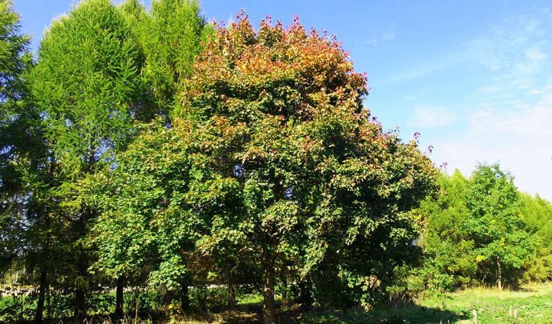 Клен Клен нужно искать молодой. Отличить дерево можно по гладкой, светло-серебристой коре. Семена клена вполне годятся в пищу — лучше будет их отварить, но, если такой возможности нет, то можно есть и сырыми. Листья дерева спасут от голода и жажды одновременно: вкусными их не назовешь, но за отсутствием альтернативы салат из клена будет отличной трапезой. Гибкие ветки дерева можно превратить в вертел, сплести из них корзину или сделать легкую стрелу.