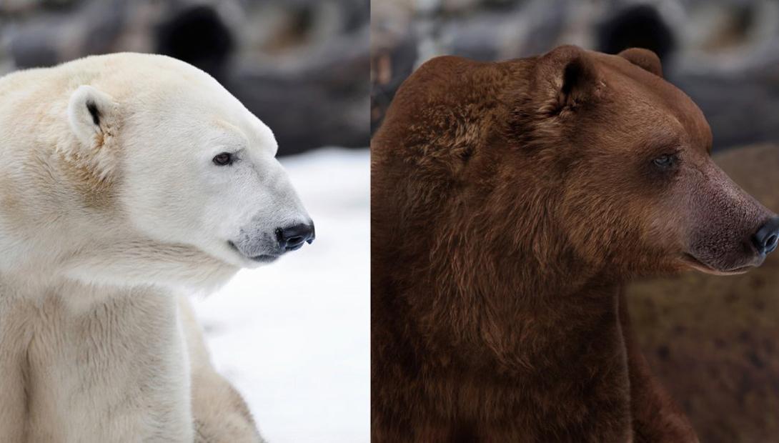 Полярный медведь и медведь гризли