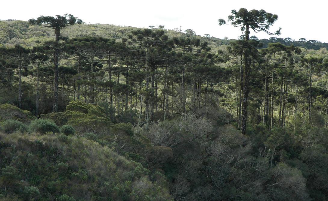 Лес Араукария Чили Именно здесь растут красивейшие чилийские сосны, некоторые из которых насчитывают более тысячи лет. Ученые считают, что необычная, перевернутая крона этих деревьев появилась в результате эволюции: так растения отгоняли травоядных динозавров, бродивших здесь целых 180 миллионов лет назад.