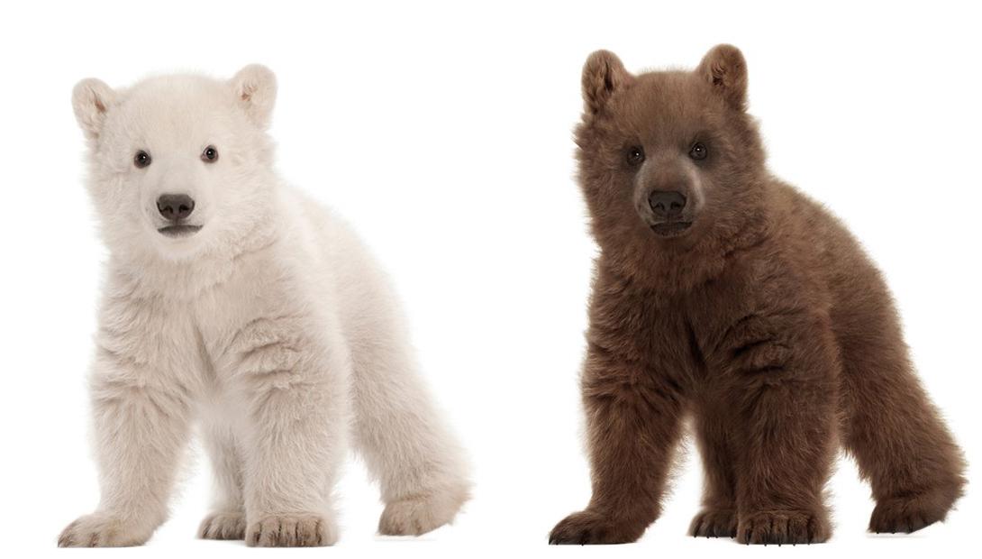 Щенки полярного медведя и медведя гризли