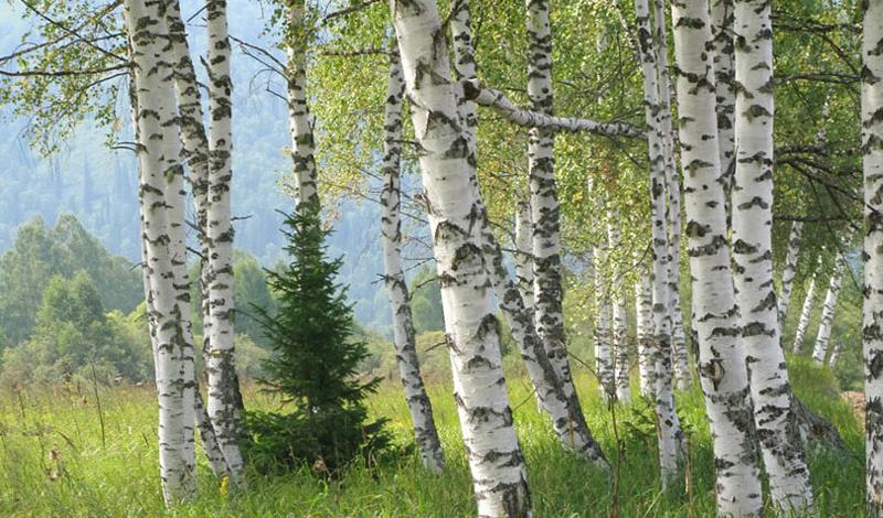 Белая береза Имеет ли смысл описывать березу? Это дерево, которое стало чуть ли не символом русской души, является одним из самых полезных из всех, что вы встретите в лесу. Сок белой березы спасет от жажды — его даже не нужно очищать. Из коры дерева можно сделать прочные контейнеры или использовать ее в качестве растопки. Нагрев кору, вы сможете добыть из нее смолу, которая пригодится в качестве скрепляющего материала.