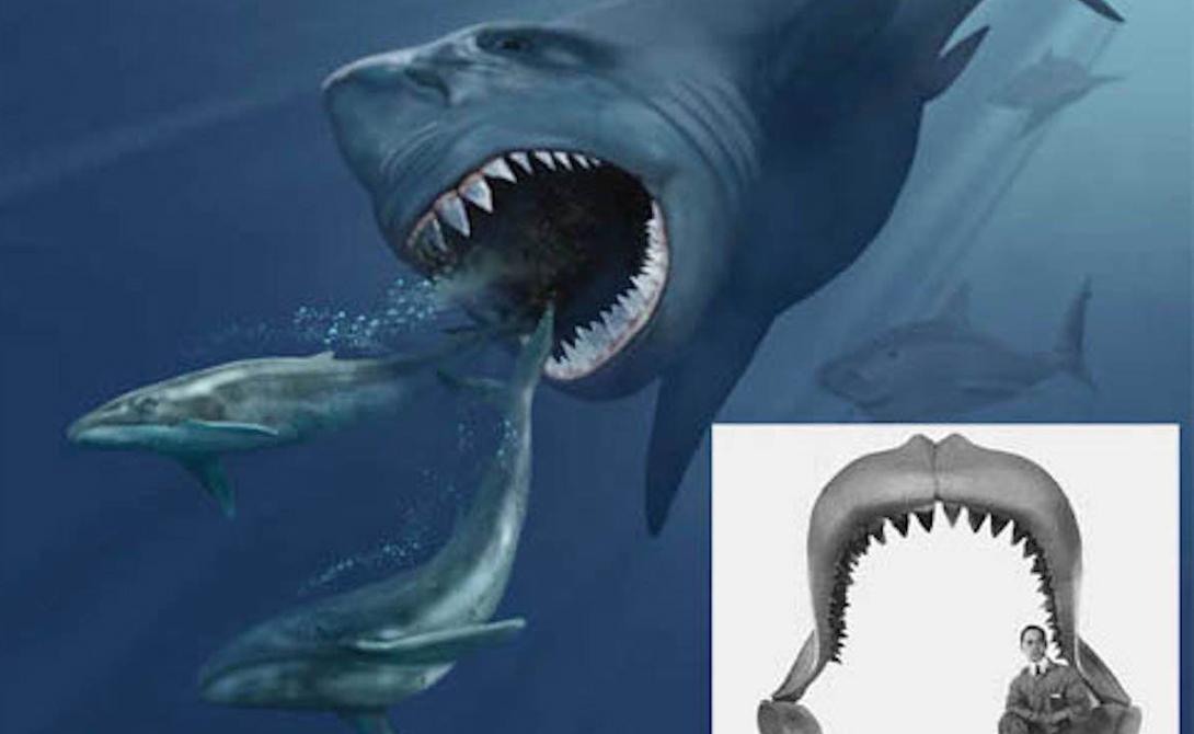 Мегалодон Ладно, эта акула существовала 2,6 миллиона лет назад — но не включить самого большого представителя вида в нашу подборку мы не могли. Мегалодон достигал 30 метров в длину: на этом снимке (ученые создали его благодаря найденным останкам) чудовище охотится сразу за двумя китами. В челюстях мегалодона могли свободно поместиться несколько человек.