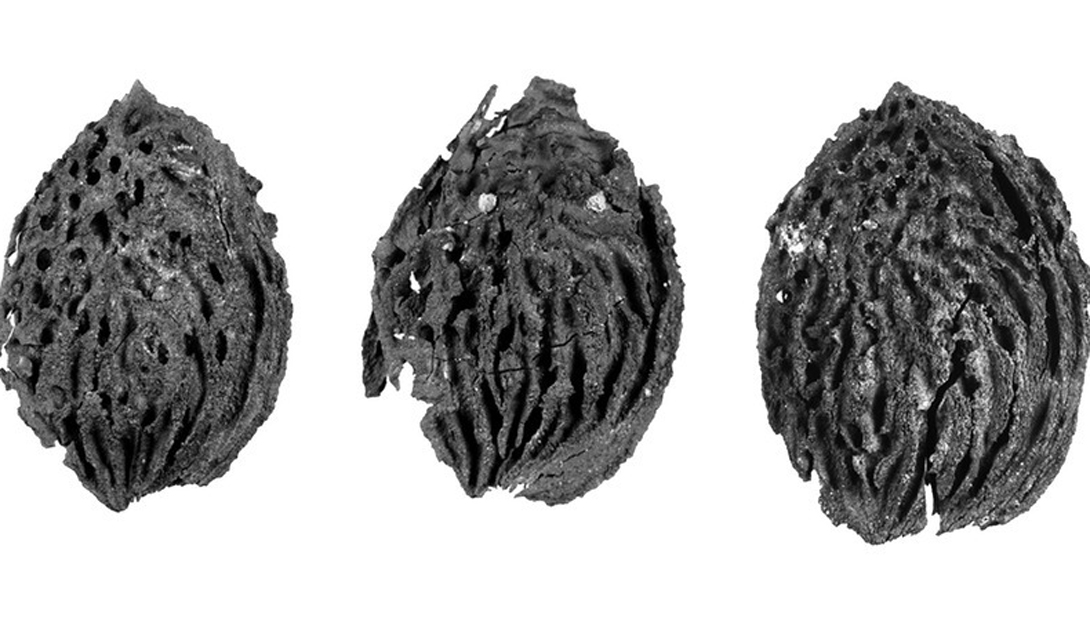 персиковая косточка, которой уже миллион лет