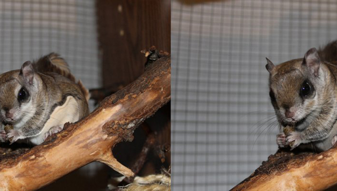 Южная белка-летяга и северная белка-летяга