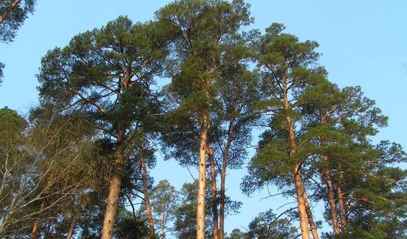 Сосна Сосновые шишки могут стать настоящим спасением заблудившемуся в хвойном лесу. Известны случаи, когда люди проводили недели на этом скудном, но питательном пайке. Свежие сосновые иголки лучше заварить на костре: такой чай весьма богат витамином С. Это особенно полезно тем, кто умудрился заблудиться в зимнем лесу. Сосновые ветки — чуть ли не лучший материал для строительства шалаша или простого навеса. Их же можно превратить в удобную постель, надежно экранирующую от холода земли.