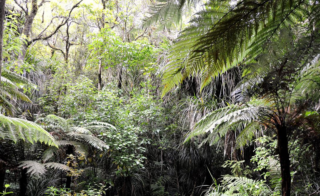Лес Вайпуйя Новая Зеландия Деревья каури тянутся к небу по всей северной оконечности Новой Зеландии. Маори открыли эту местность только в 12 веке нашей эры, а до того сюда не ступала нога человека.