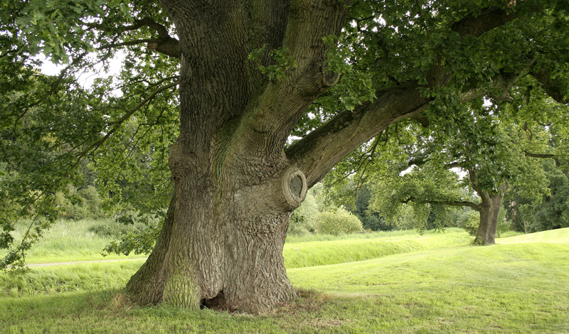 Дуб Этот лесной патриарх сможет в одиночку спасти вас и от голода, и от непогоды. Вопреки распространенному мнению, желуди дуба вполне годятся в пищу — нужно только выщелочить из них дубильную кислоту. Сделать это можно путем простого кипячения. Обработанные желуди годятся на муку, ими можно приманивать мелких животных, белок, например. Из древесины дуба можно сделать древко топора и собрать каркас надежного шалаша, а полученная из желудей дубильная кислота отлично работает в качестве антисептика и противодиарейного средства.