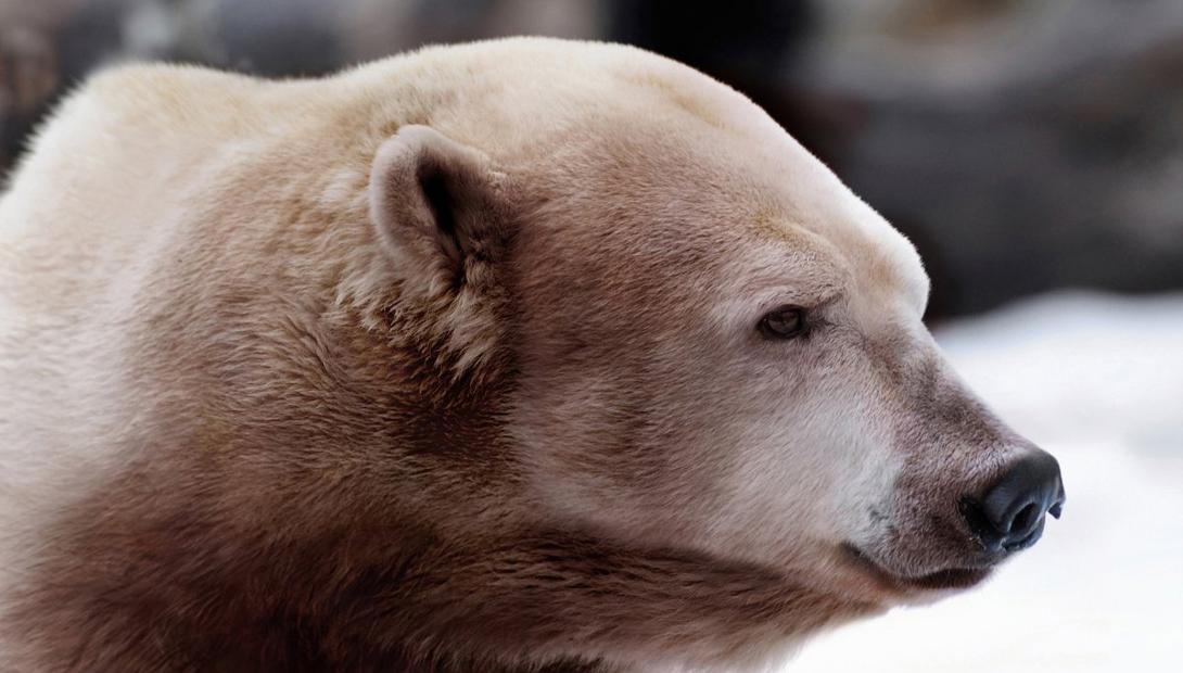 Гибрид По мере таяния морского льда полярные медведи будут проводить больше времени на берегу. Здесь они, по предположениям ученых, должны встретить медведей гризли, которые уже двигаются на север из-за общего повышения температур. Гибрид этих двух видов имеет более тупую форму морды, небольшой горб и раскраску, скомпилированную из шкур обоих видов.