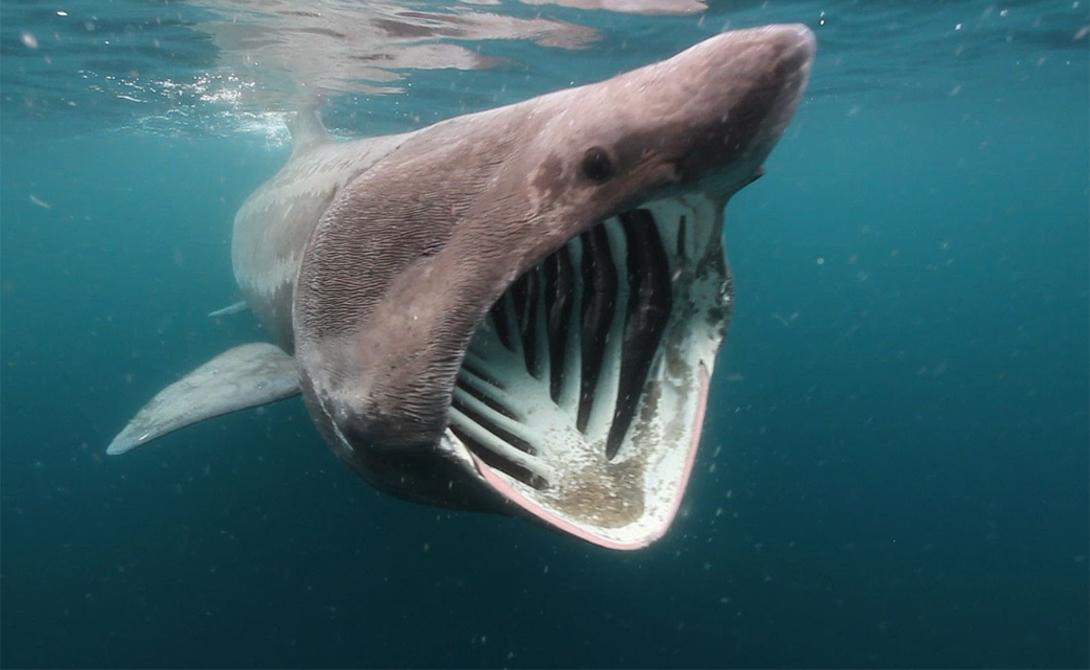 Исполинская акула 12 метров длины могли бы даровать исполинской акуле звание опаснейшего хищника во всем Мировом океане — однако, бодливой корове рогов бог не дал. Исполинская акула вынуждена поддерживать свое огромное тело диетой из планктона, фильтруя его из воды, подобно киту.