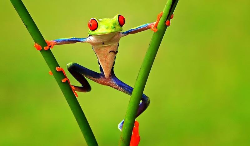 Древесные лягушки Пока никто так и не придумал, как решить эту проблему. Но некоторые ученые считают, что крошечная амфибия, древесная лягушка, может стать, по крайней мере частью ответа. Диапазон обитания этой амфибии — от теплых краев до Полярного круга, где лягушка может провести несколько месяцев в анабиозе. При оттепели все функции организма восстанавливаются.