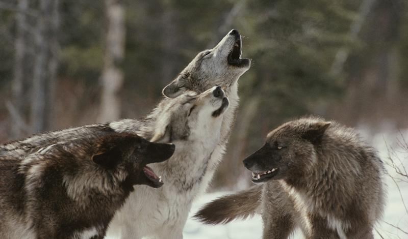 Размер имеет значение Попробуйте показать животным, что они связались не с той добычей. Дикие твари реагируют на размеры: снимите рубашку или пиджак, поднимите над головой. Есть вероятность, что волки отступят перед превосходящим противником.