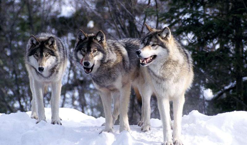Продуманное отступление Двигайтесь прочь от нападающих, не поворачиваясь к ним спиной. Если есть возможность уйти от волков в безопасную зону — отлично. Следите за тем, чтобы не споткнуться. Если такой зоны поблизости нет, то постарайтесь найти что-то, что будет защищать вашу спину. Забор, дерево. На дерево забираться нужно только в крайнем случае, лучше, все же, волков отогнать. Стая явно готовится к атаке? Ладно, залезайте на дерево, но приготовьтесь к тому, что сидеть там придется долго. Волки умеют ждать.