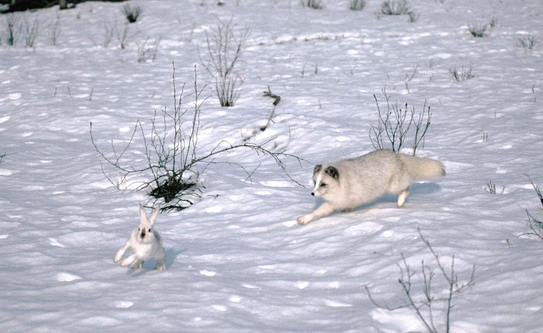Арктический заяц Арктические зайцы встречаются в основном на севере Канады и Гренландии — и эти ребята не двигаются на юг с наступлением холодов. Их популяция довольно многочисленна, поскольку за Полярным кругом встречается не так много хищных животных, способных развить скорость выше 80 км/ч — а именно так будет улепетывать от опасности арктический заяц. Когда температура становится смертельно низкой, животные сбиваются в стаи до ста особей. Тесно прижимаясь друг к другу, они генерируют достаточное количество тепла.