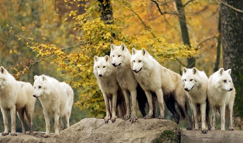 Крик и атака Еще раз: не показывайте своего страха. Кричите на животных, не бойтесь их спровоцировать — волки уже и так собираются на вас напасть. Постарайтесь поднять пару камней, только сделайте это быстро, чтобы не давать соблазна атаковать вдруг уменьшившуюся в размере жертву. Кидайтесь камнями, стараясь попасть в морды — это покажет животным вашу решительность.