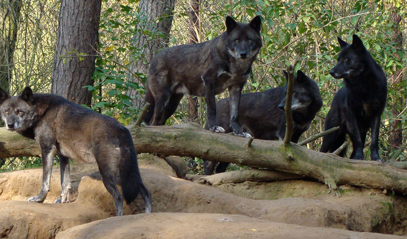 Лицом к лицу Постарайтесь не поворачиваться к волкам спиной. Это умные животные, привыкшие к определенному типы охоты. Несколько членов стаи будут отвлекать ваше внимание, атакуя с фронта, а другие зайдут с флангов. Повернетесь спиной — и на этом приключение закончится.