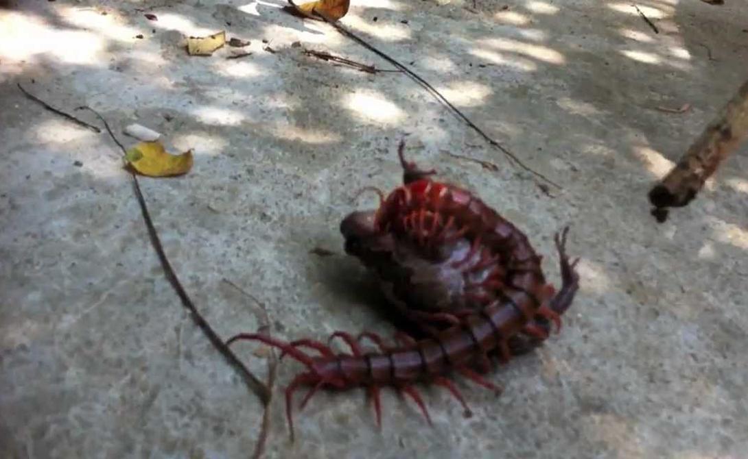Многоножки охотятся на мелких червей и насекомых. Это что касается небольших представителей вида. Тридцатисантиметровая тварь уже, конечно, червяками не обойдется. Такие нападают на птиц, жаб и даже млекопитающих: съесть, к примеру, крысу — с нашим вам удовольствием.