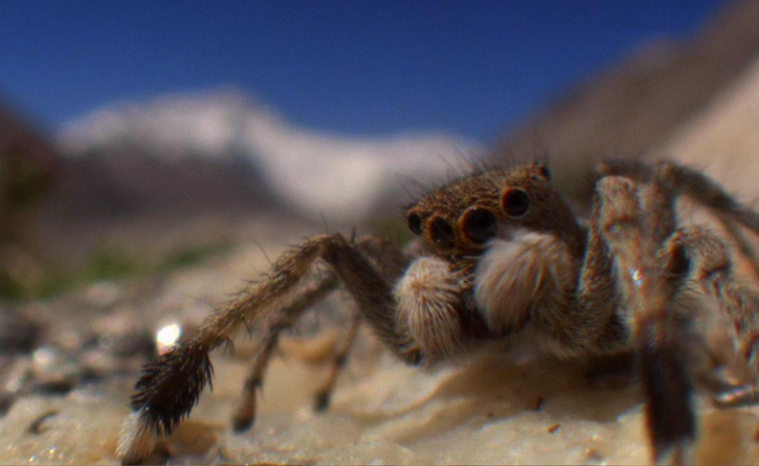 Гималайский прыгающий паук Чемпион-выживальщик всея планеты, гималайский прыгающий паук будто нарочно выбрал самые неподходящие для жизни условия. Экстремальный холод, низкое атмосферное давление, ветер, способный сдуть со склона горы не только паука, но и хорошо экипированного альпиниста… Кроме того, паук полностью зависит от мелких насекомых, которых заносит на вершину ветер. Нет ветра — нет еды.