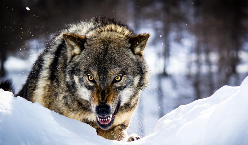 Взгляд Возможно, вы читали о магической силе человеческого взгляда, который способен подчинять животных своей воле. Не пытайтесь провернуть этот трюк в реальной жизни. Игра в «гляделки» со стаей волков ничем хорошим не закончится. Звери скорее предпочтут устранить угрозу, чем трусливо, поджав хвосты, убраться восвояси.