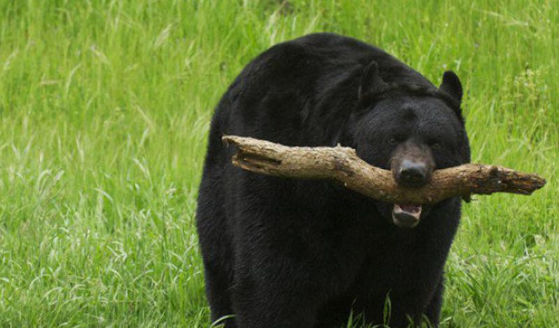 Встреча с медведем На самом деле, медведи довольно редко нападают на людей — но такое бывает. Убежать от разъяренного и голодного зверя не получится: сил и проворства у него явно больше (нечего было проводить столько времени перед телевизором). Медведь подминает вас под себя, нещадно сдирая кожу огромными, кривыми и тупыми когтями. Вам повезет, если тварь догадается сразу перекусить горло — сравнительно легкая смерть. В противном случае, животное вполне может начать закусывать вами, не обращая внимания на крики. А кричать вы будете долго!