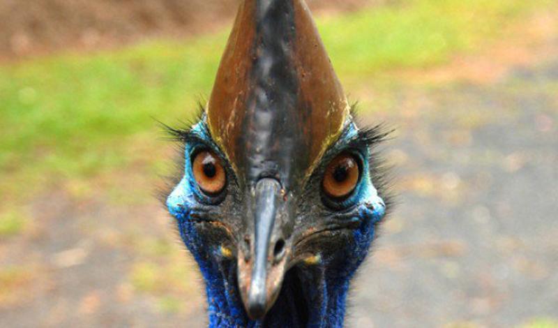 Нападение казуара Представьте, вы вдруг встречаете неторопливо выходящую из зарослей птицу, больше похожую на современную реплику динозавра. Она смотрит на вас не отрываясь и — черт, может быть, ее стоит покормить? Будто расслышав эти мысли, птица склоняет голову на бок и вы думаете, что просто обязаны подкинуть этому красавцу чего-нибудь вкусненького. Но, вместо того, чтобы смирно стоять и ждать подачек, казуар (знакомьтесь, будущий мертвец — казуар, казуар — это ваша жертва) кидается к вам со скоростью локомотива. Локомотива с когтями. Пара ударов гарантированно перешибет несколько главных артерий и вот, вы уже смирно умираете в луже собственной крови, под внимательным взглядом этого велоцираптора в перьях.