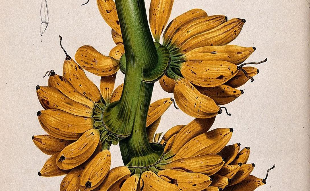 Gros Michel был сливочно-сладким, терпимым к перевозке продуктом. Такие бананы можно было кидать в трюм судна зелеными, а на месте назначения доставать уже созревшими.