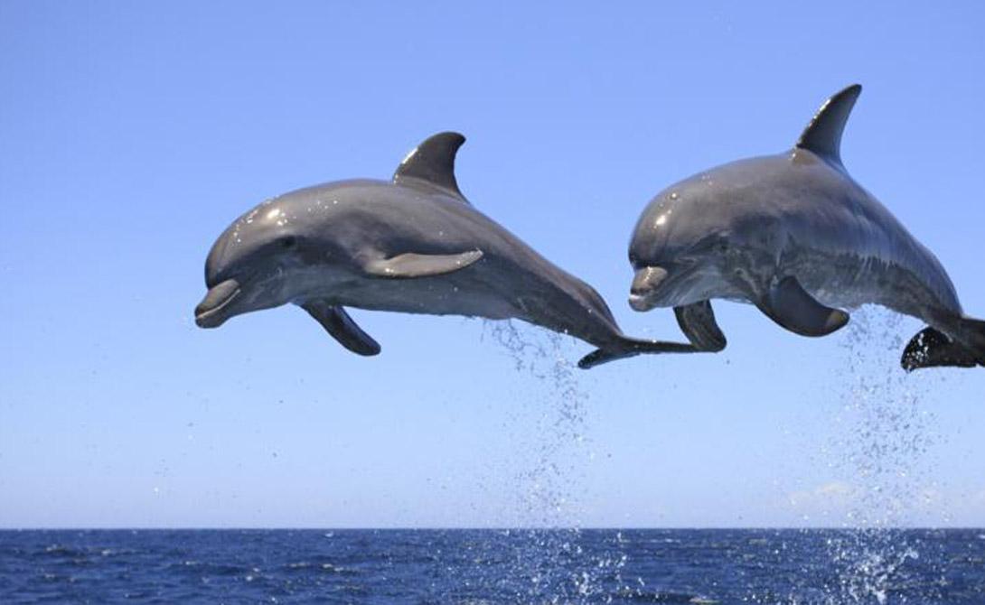Ученые удалили одного дельфина из стаи и, спустя несколько месяцев, воспроизвели его звуковой сигнал для оставшихся в бассейне особей. Те принялись искать источник — поняв, что щелчки исходят не от потерянного собрата, а из динамиков, они потеряли интерес.