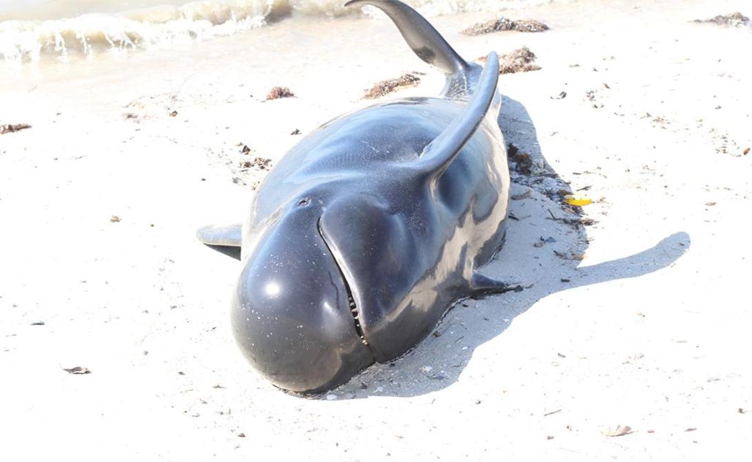 Немаловажную роль играют в таком суицидальном поведении и хищники. Дельфины могут просто убегать от нападения и случайно высадиться на мель, откуда спасения уже нет.