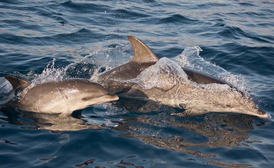 Большая часть исследований посвящена самому распространенному подвиду — афалинам. Первый серьезный труд был опубликован в 1984 году: ученые выявляли способность женской особи к восприятию и запоминанию звуков, сгенерированных компьютером. На втором этапе биологи показали дельфину связь между звуками и музыкальными инструментами.