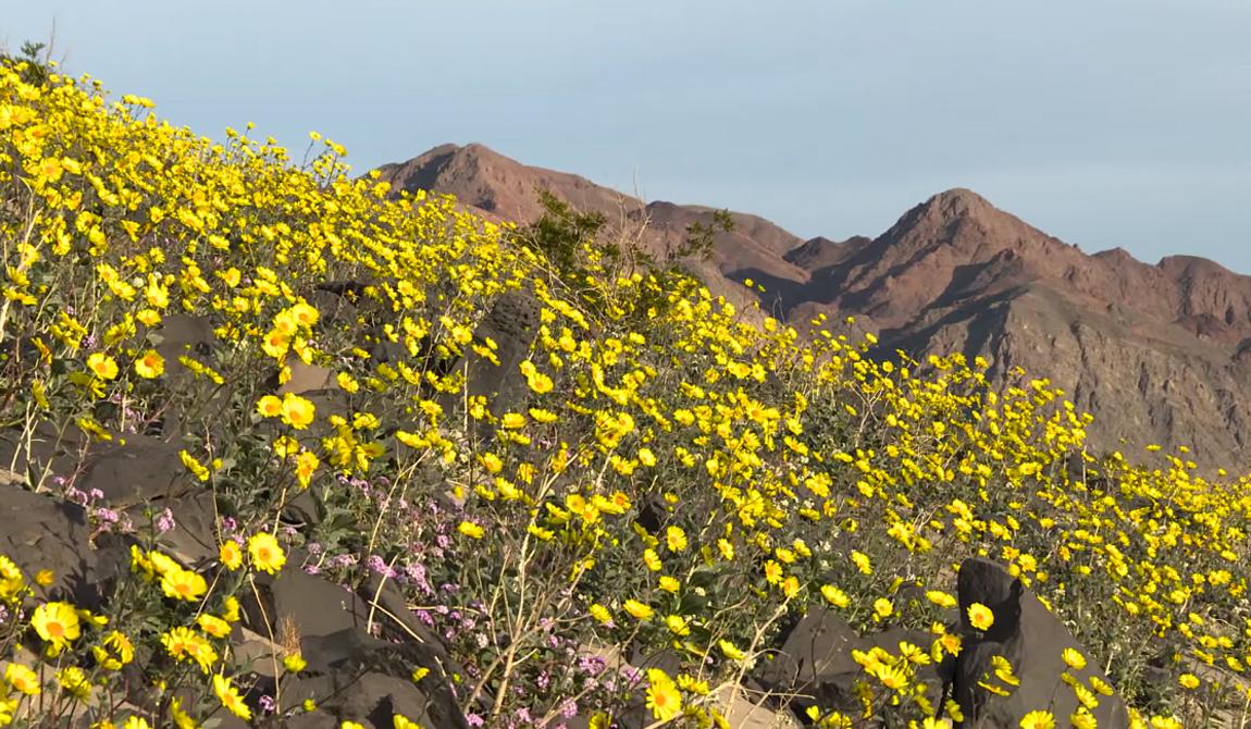 В этом году цветы появились благодаря урагану Эль-Ниньо. В минувшем октябре в долине выпало до 3 сантиметров осадков, что близко к тому, что выпадает здесь в течение целого года. Этого небольшого, сравнительно, количества осадков хватило, чтобы вызвать гигантский рост местных цветов.