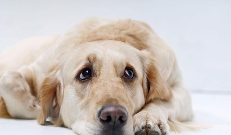 Чувство голода Ни один здоровый пес не откажется от лишней еды. Каждый поход на кухню сопровождается топотом его лап — и, если уж миска полна, пес очистит ее за пару минут. Обилие не съеденной еды — серьезный признак депрессии. Несколько вечеров такой «диеты» должны насторожить внимательного хозяина.