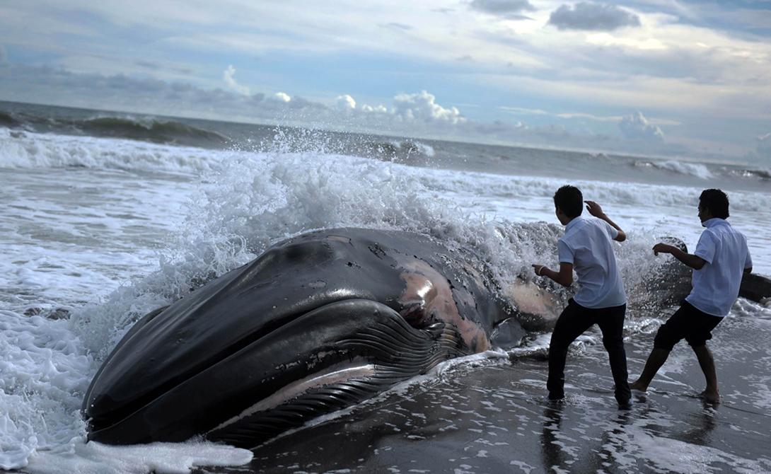 Массовые же выбрасывания происходят от того, что киты и дельфины — создания очень социальные. То есть, когда на берег устремляется один из членов стаи — другие следуют его примеру. Это называется «коллективная ментальность».